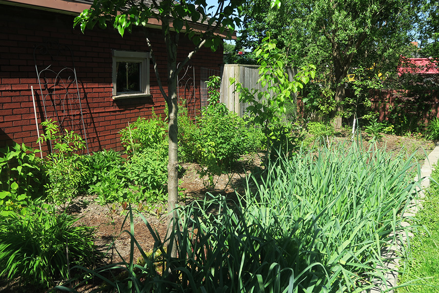 3 Year old Urban Food forest in Welland Ontario